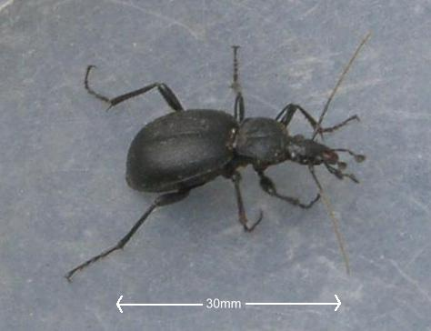 picture of a ground beetle