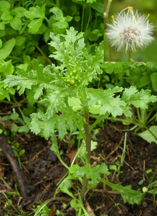 picture of GROUNDSEL