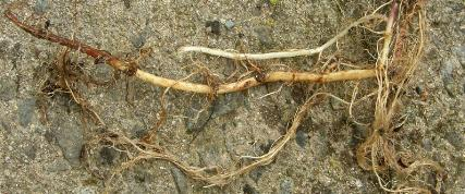 picture of Hedge Woundwort roots