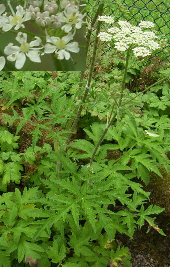 picture of common hogweed