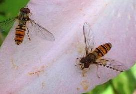 picture of Hover Fly - Episyrphus balteatus