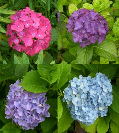 picture of hydrangea macrophylla flowers