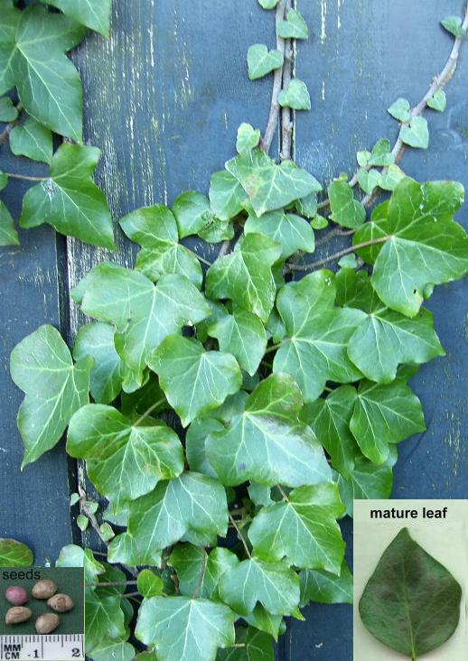 image of ivy, hedera helix