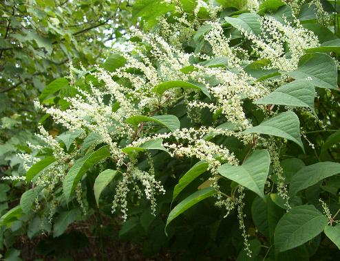 picture of JAPANESE KNOTWEED in flower