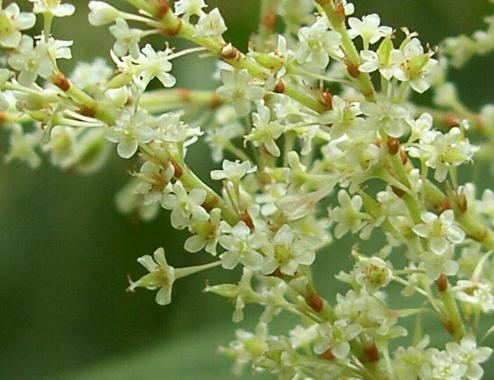 picture of JAPANESE KNOTWEED flowers