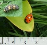 picture of LADYBIRD and larva click for more information