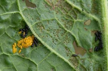picture of leaf beetle eggs and larvae