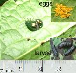 picture of LEAF BEETLE click for more information