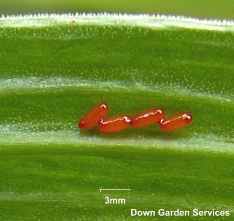 picture of red lily beetle eggs