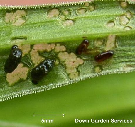 picture of first instar red lily beetle larvae