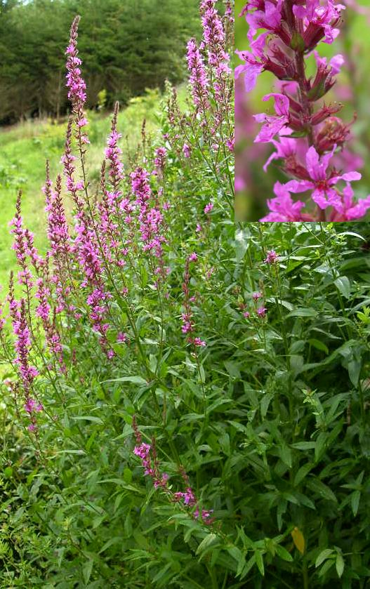 picture of Purple Loosestrife