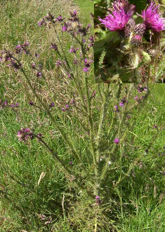 picture of MARSH THISTLE
