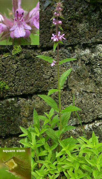 picture of Marsh Woundwort