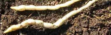 picture of Marsh Woundwort roots