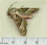 picture of ANGLE SHADES MOTH click for more information