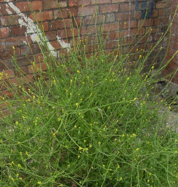 pictue of Hedge Mustard