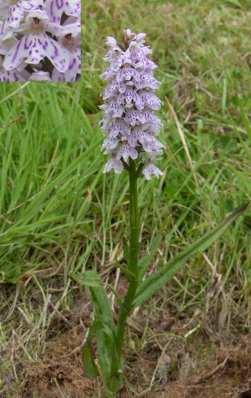 picture of the Common Spotted Orchid