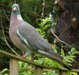 picture of a WOOD-PIGEON click for more information
