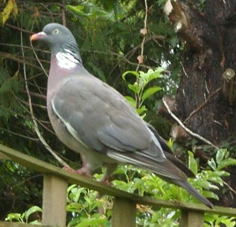 picture of a wood-pigeon