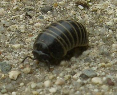picture of a pill millipede
