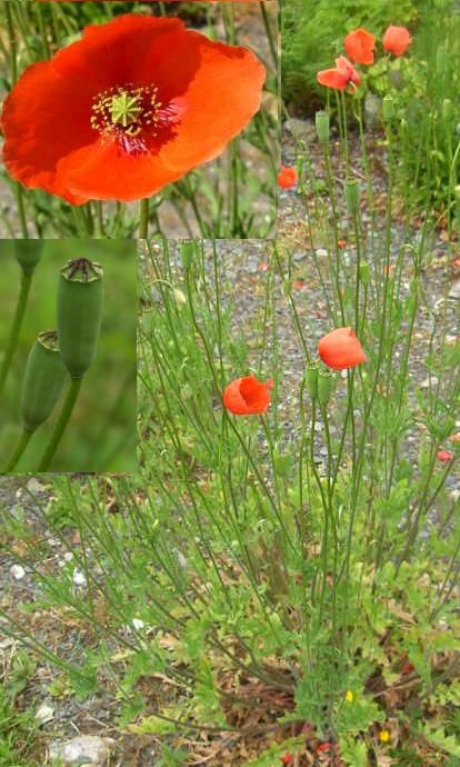 picture of long-headed poppy