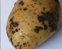 CLICK FOR INFORMATION ON POTATO BLACK SCURF