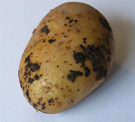 image of black scurf on a potato