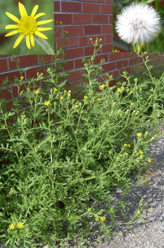 picture of oxford ragwort