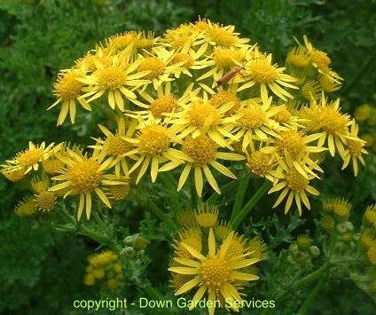 picture of ragwort flowers