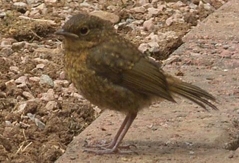 image of a fledgling robin