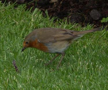 picture of a robin with a worm