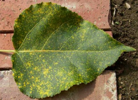 picture of rust on a poplar leaf