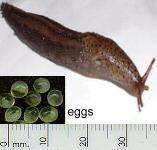 picture of a SLUG click for more information