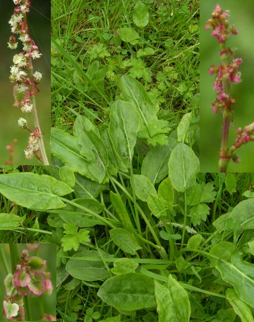 picture of common sorrel