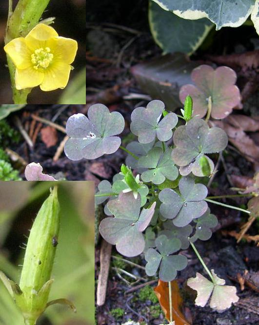 picture of Creeping Wood Sorrel