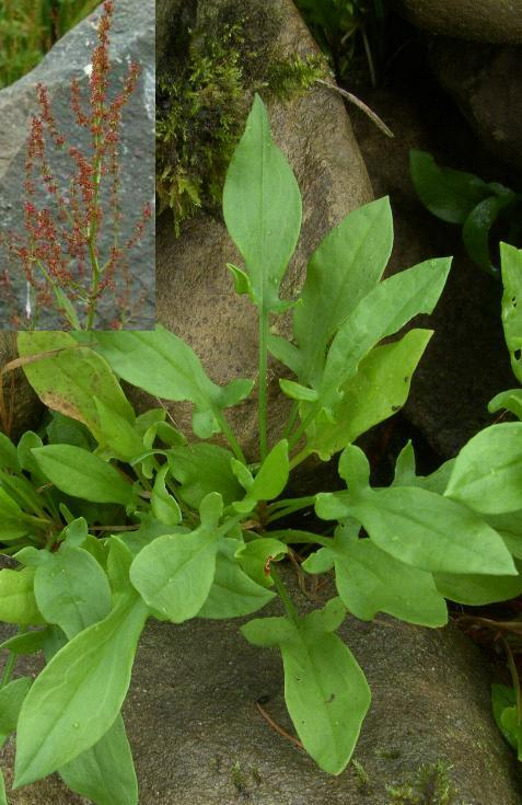 picture of SHEEP'S SORREL