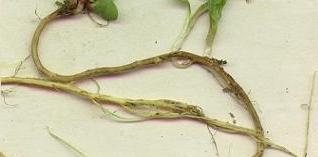 picture of SHEEP'S SORREL roots