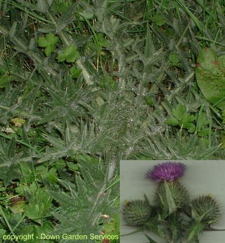 picture of SPEAR THISTLE