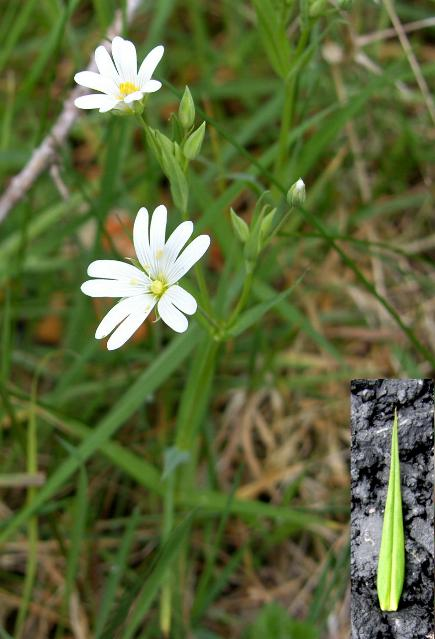 picture of greater stitchwort