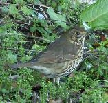 picture of a SONG THRUSH click for more information