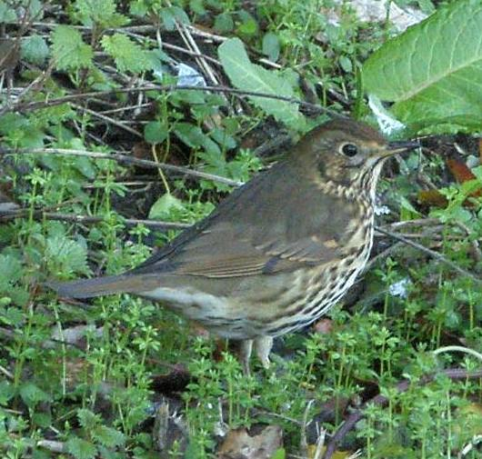 picture of a Song Thrush