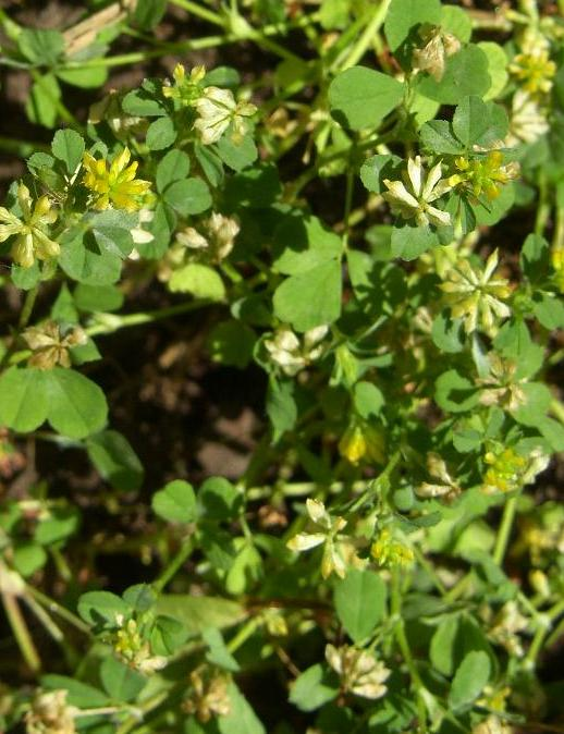 picture of LESSER TREFOIL