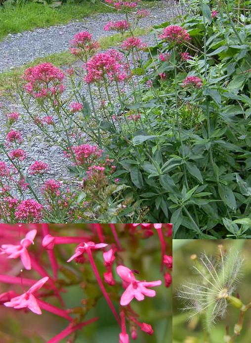 picture of Red Valerian