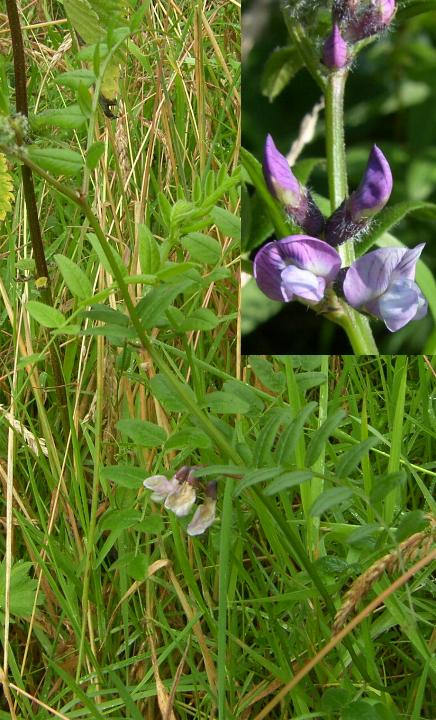 picture of Bush Vetch