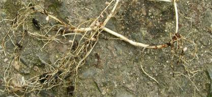 picture of Bush Vetch roots