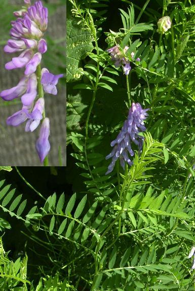 picture of tufted vetch