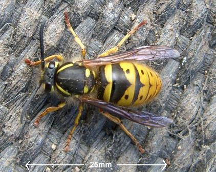 picture of queen wasp