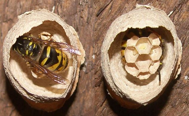 image of a queen wasp building a nest