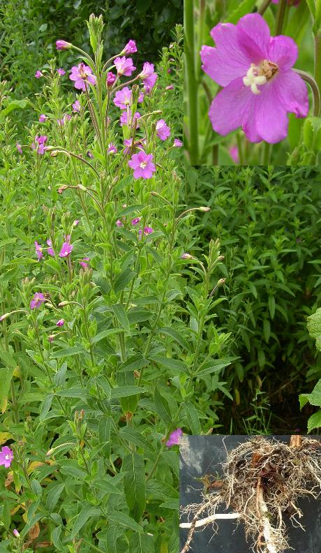 image of GREAT WILLOWHERB