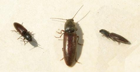 pictures of click beetles